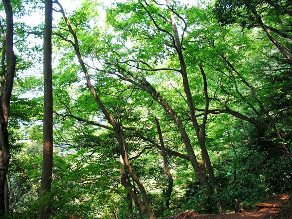 蛇滝へ下る途中の緑濃い青葉