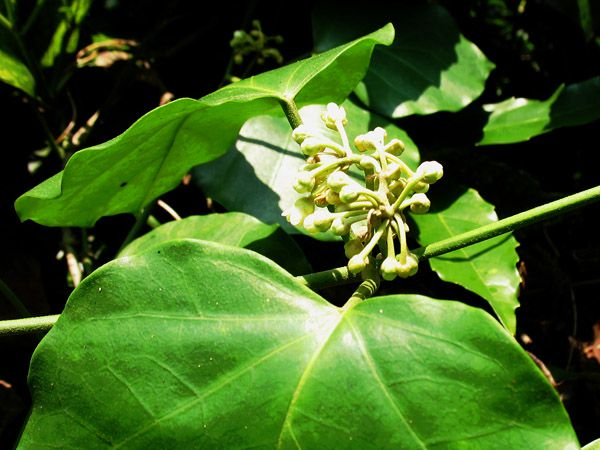 キジョランの花(つぼみ)と葉