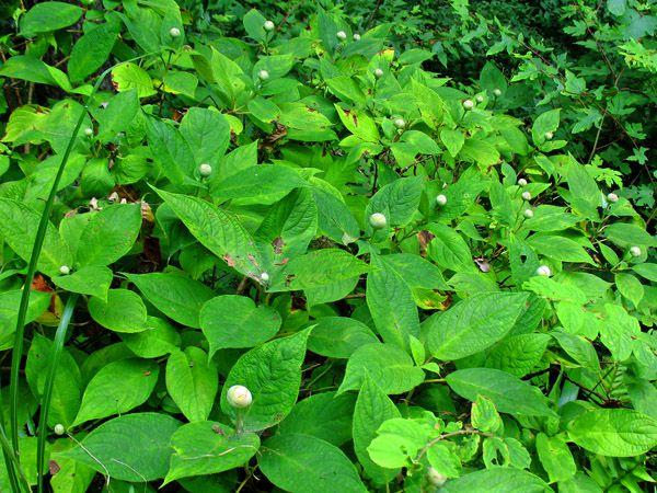 タマアジサイ(玉紫陽花)のつぼみ