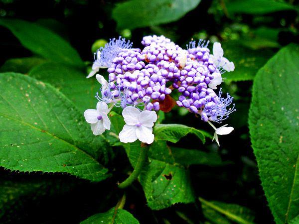 タマアジサイ(玉紫陽花)の花