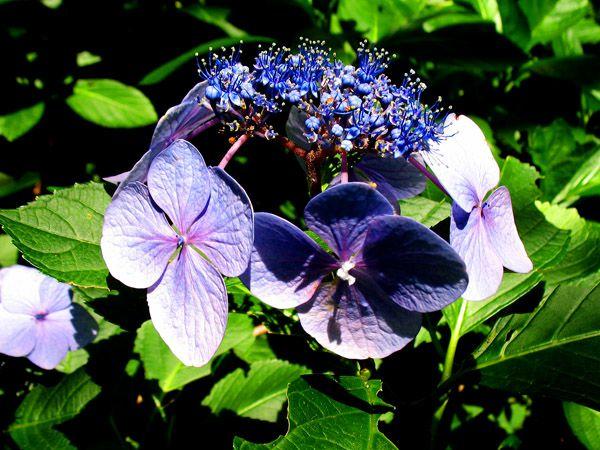 ヤマアジサイ(山紫陽花)