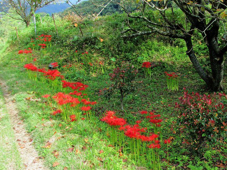 堤防道終点の才戸橋付近に咲く彼岸花