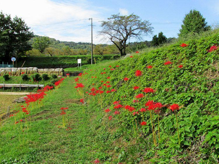 三廻部地区の農地に咲く彼岸花