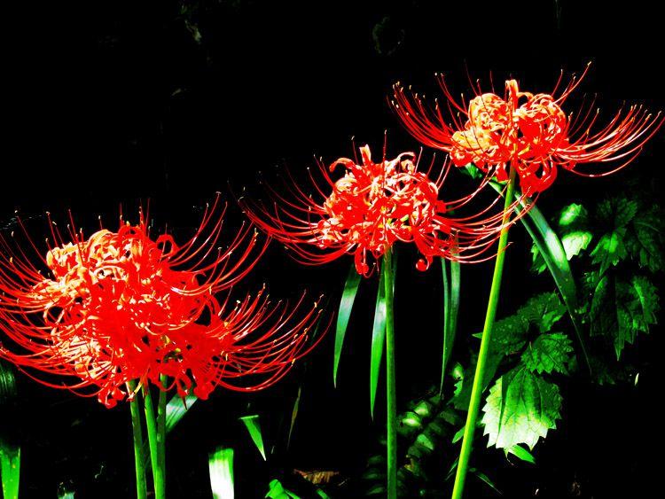 三廻部地区の農道に咲く彼岸花