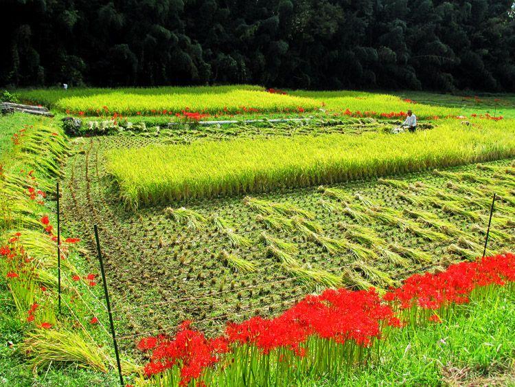 堤防道脇の田んぼは稲刈り中