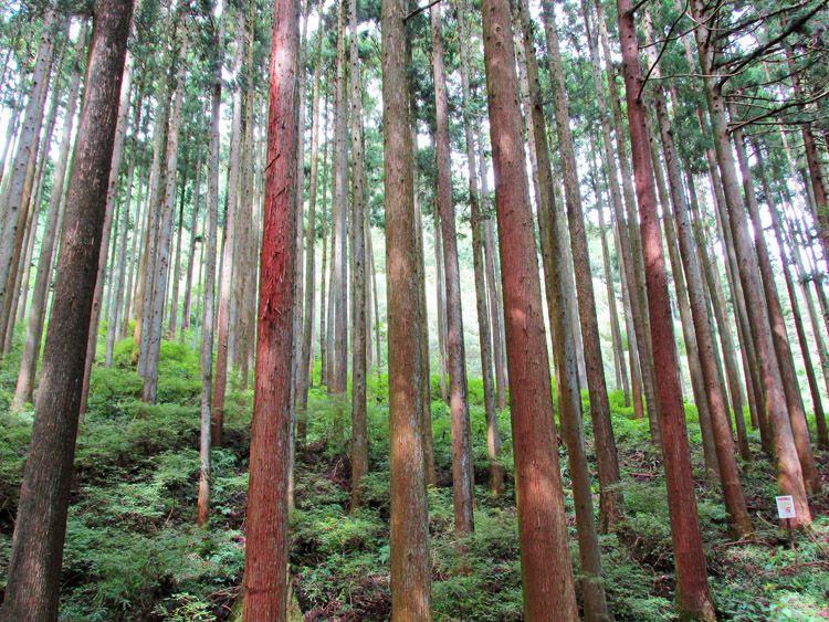 表丹沢県民の森付近の針葉樹林