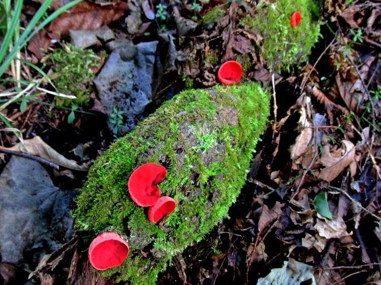 四十八瀬川の川岸の腐木に生える赤いキノコ